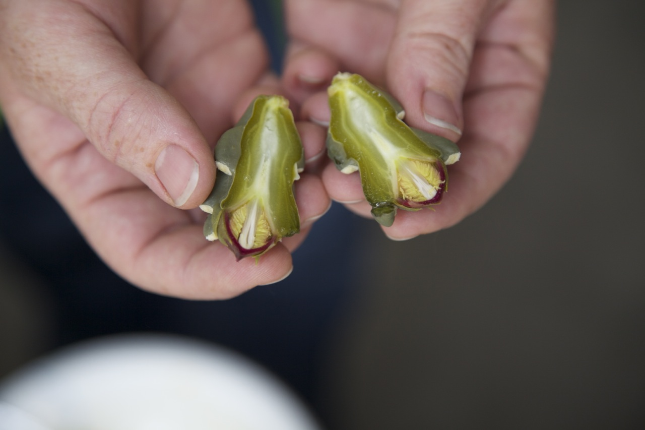 Cholla buds taste like a cross between and artichoke and asparagus. They have a slippery texture like okra or aloe verra.