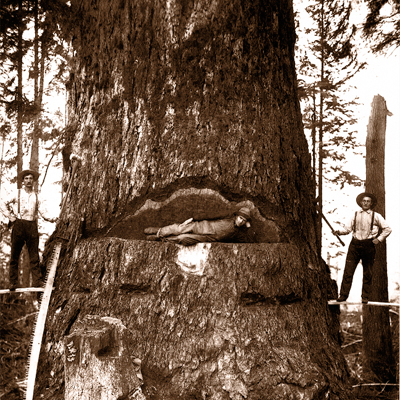 Douglas Fir Loggers. A reminder of the giant forests, which were logged a hundred and fifty years ago when the white man first set eyes on the shores of Vancouver.
