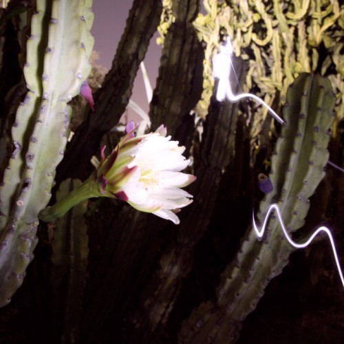 Some Cactus flowers only open up at night. Lit with a mini flashlight.