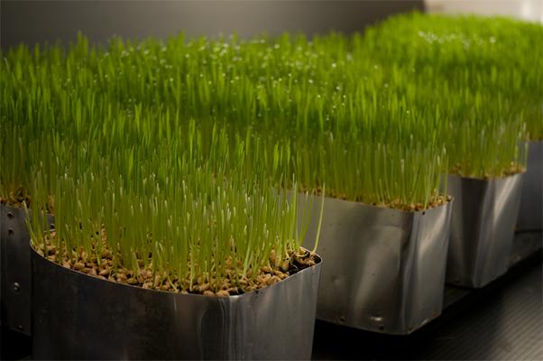 Towards the Sun - Grass seed grows straight up towards the light.