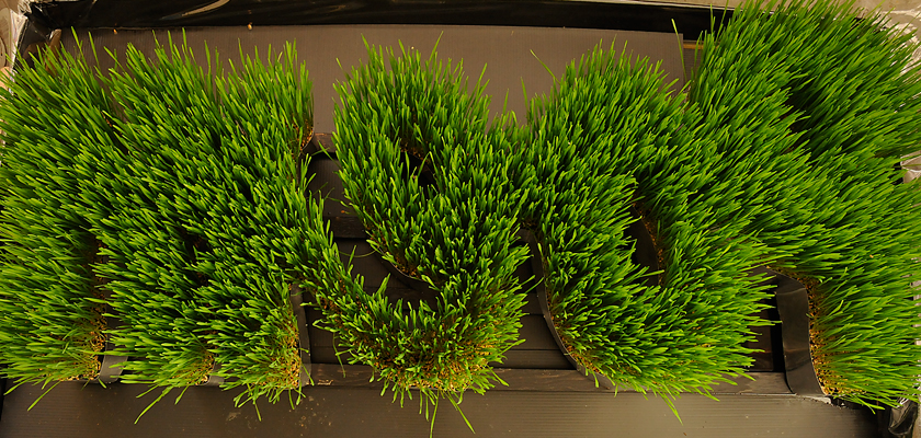 Poetic Growth - Wheat grass has many health benefits.