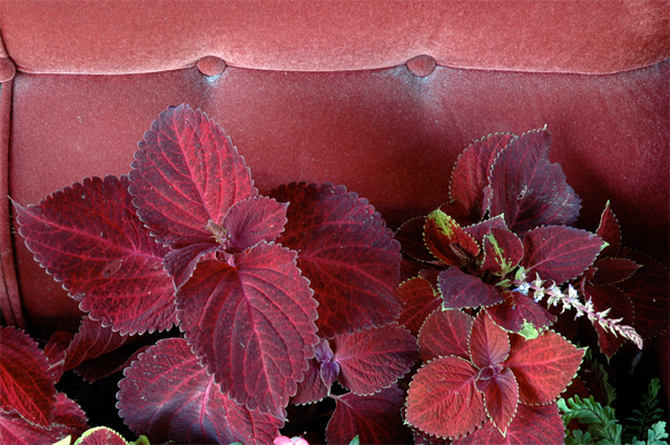 Red Shade -Shade plants Coleus, Impatiens and Ferns. Thank you to Frank the nearby gorilla gardener for the daily water supply.