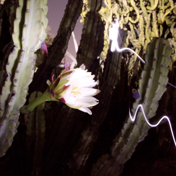 Walking in desert section of the Fullerton Arboretum at night, I chanced upon a Night-blooming cereus, which only opens by nightfall and is wilted by dawn.