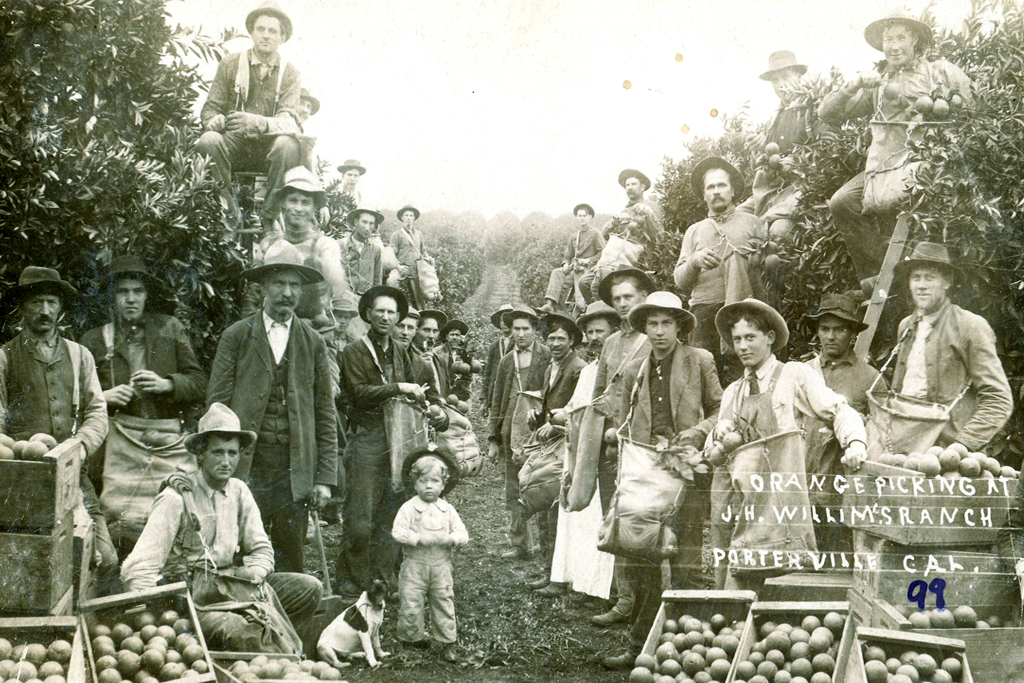 Historical photograph: Picking oranges. Circa 1910. J.H. Williams. The fruit industry was called the second Gold Rush and it attracted migrant workers from all corners of North America.