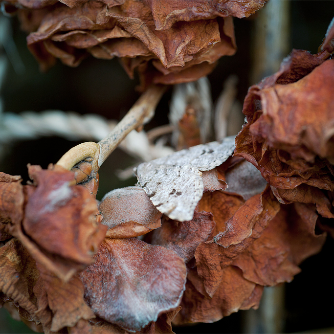 A moth seeks to camouflaged itself within the white fuzzy skin of the dried Camellia petals.