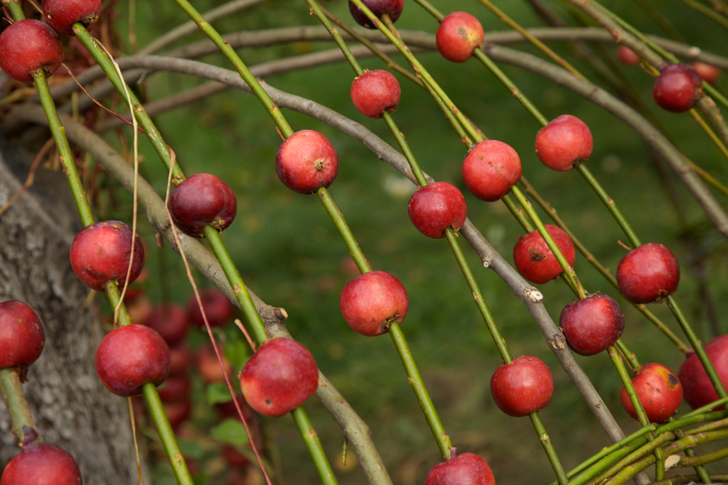 smaller crab-apples were added to the top of the structure, which could be moved up and down like an abacus.