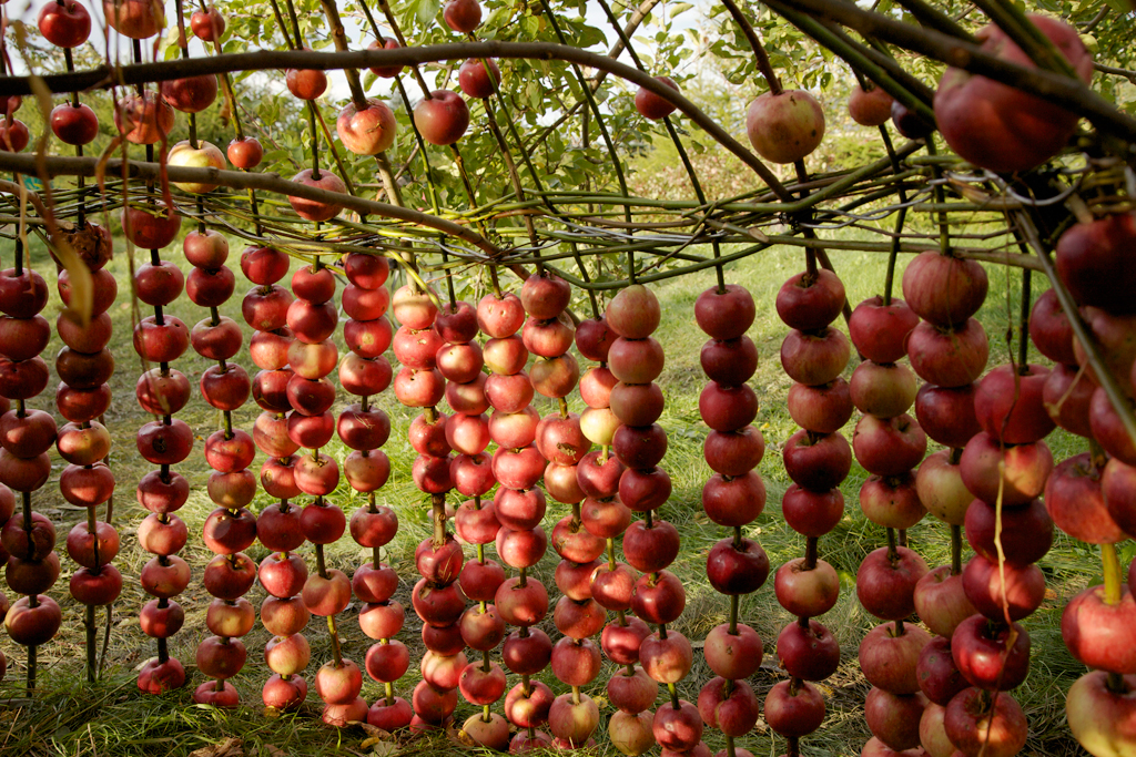 The apples were skewered on long Willow stalks imbedded in the ground.